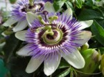 Passion Flower - Stunning in its own right.